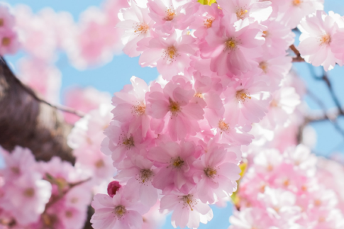 Blossoming Cherry Blossoms